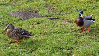 Dübener Heide - Stockenten Paar