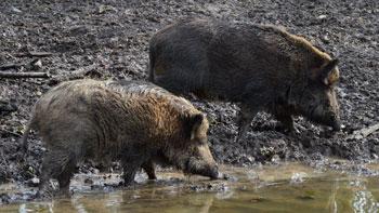 Dübener Heide - Wildschweine