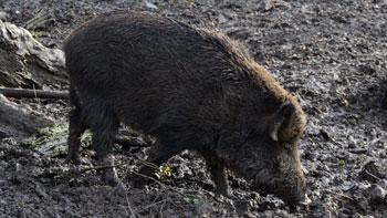 Dübener Heide - Wildschwein